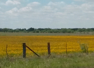 A fenced field of gold.